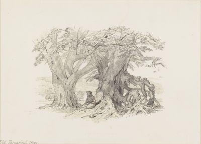 Old Tamarind trees. Feb. 19. 1848.