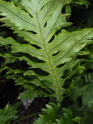 Polypodium cambricum 'Cambricum Barrowii'