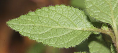 Acilepis setigera