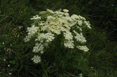 Pleurospermum uralense