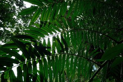 Ptisana salicifolia