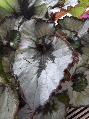 Begonia rex 'Escargot'