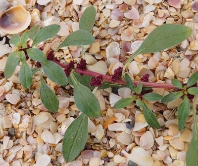 Amaranthus graecizans subsp. silvestris