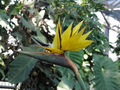 Strelitzia reginae 'Flava'