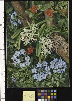 The Blue Plumbago in contrast, Van Staaden's Kloof