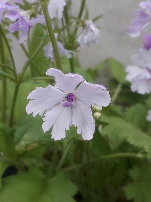 Primula sieboldii 'Tokimeki'