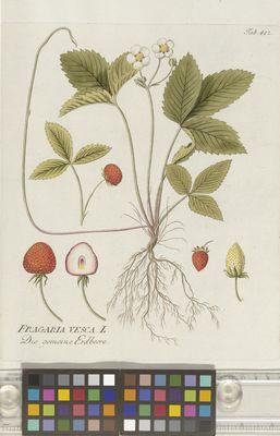 Fragaria vesca (wild strawberry), Plenck
