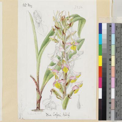 Disa cooperi Reichb.f. original illustration from Curtis's Botanical Magazine