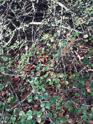 Cotoneaster rotundifolius