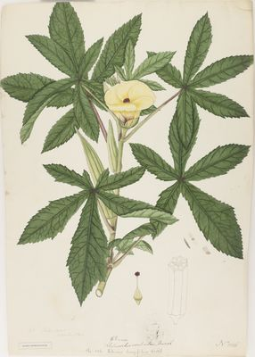 Hibiscus longifolius Willd.; watercolour on paper