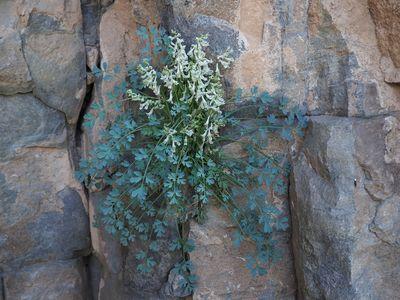 Corydalis fangshanensis