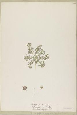 Loeflingia indica Linn., watercolour on paper