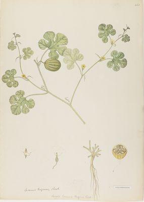 Cucumis trigonis R., watercolour on paper
