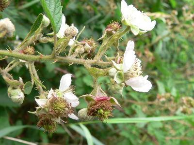 Rubus adspersus