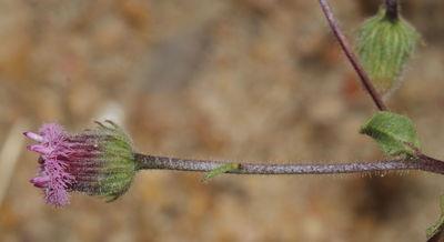 Blumea obliqua