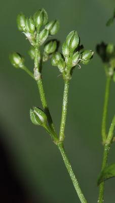 Polycarpaea tetraphyllum