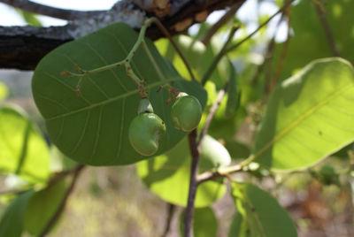 Anacardium occidentale L.