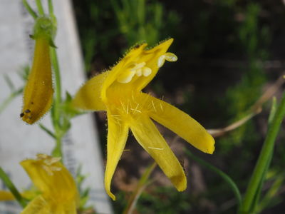 Penstemon pinifolius 'Mercer Yellow'