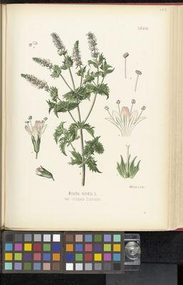 Mentha viridis, Köhler