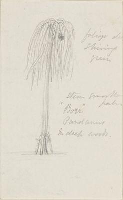 Pandanus tree, 'Bore'.