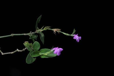 Justicia breviflora