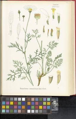 Chrysanthemum cinerariaefolium, Köhler
