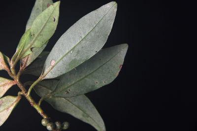 Myrsine coriacea subsp. coriacea
