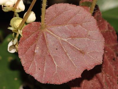 Begonia cordifolia