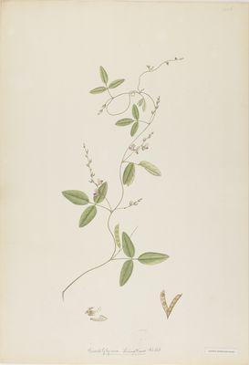 Glycine tenuiflora Willd., watercolour on paper