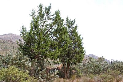 Widdringtonia wallichii