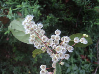 Elaeocarpus serratus