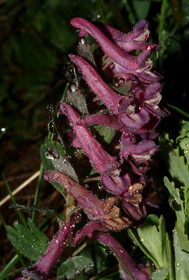 Corydalis solida