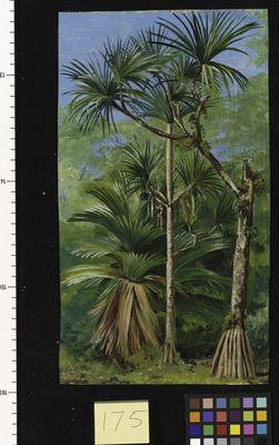 175. Study of Screw Pine.