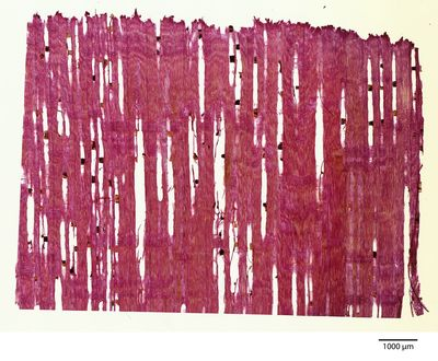 A specimen from Kew's microscope slide collection - radial longitudinal section of wood. Image ref: KMIC001153_2018.07.19-S3