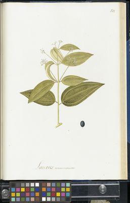 Laurus cinnamomum