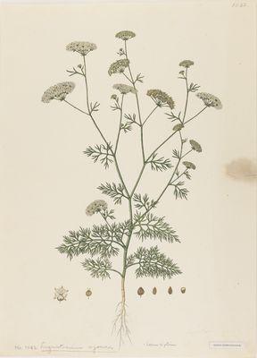 Ligusticum ajowan R. Fleming, watercolour on paper