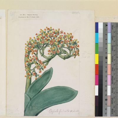 Crassula falcata original illustration from Curtis's Botanical Magazine