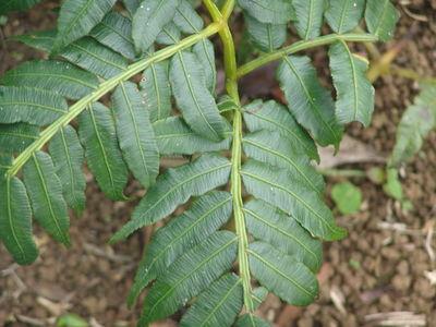 Ptisana purpurascens