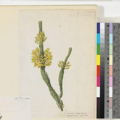 Erica flava, watercolour drawing, for plate 1815, Curtis's Botanical Magazine; originally published as Erica flava (ß) imbricata