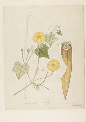 Luffa clavata R., watercolour on paper