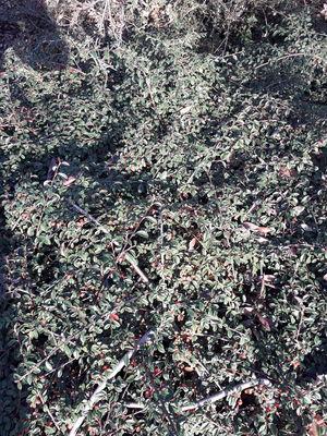 Cotoneaster kweitschoviensis