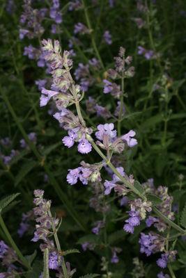 Nepeta racemosa 'Walker'