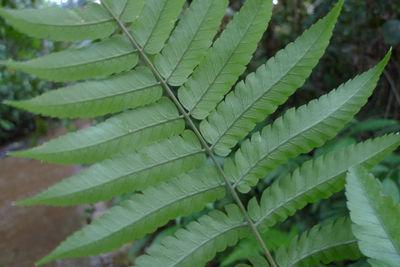 Polybotrya caudata Kunze
