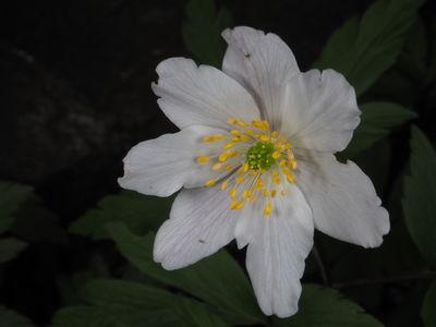 Anemonoides nemorosa