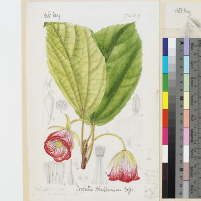 Trochetia blackburniana Bojer original illustration from Curtis's Botanical Magazine