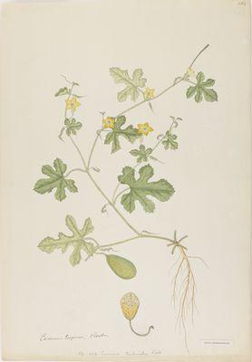 Cucumis turbinatus R., watercolour on paper