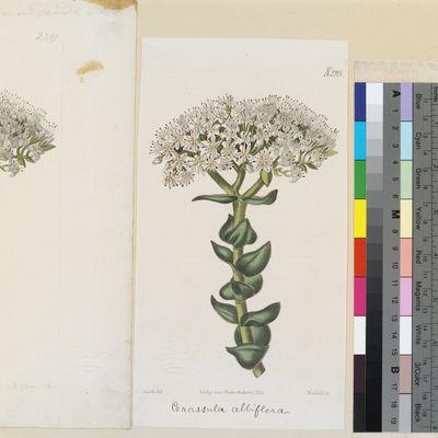 Crassula albiflora published illustration from Curtis's Botanical Magazine
