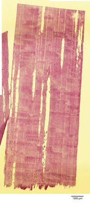 A specimen from Kew's microscope slide collection - radial longitudinal section of wood. Image ref: KMIC000624_2016.08.22-S2