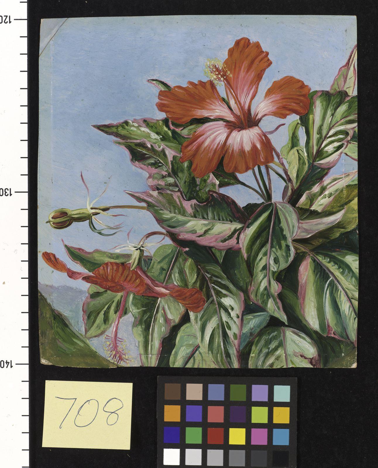 Hibiscus rosa sinensis l plants of the world online kew science laa izmirmasajfo