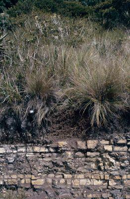 Calamagrostis effusa (Kunth) Steud.